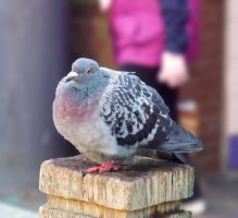 Just a pigeon by Lishu