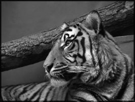 Tiger B-W by Leitor