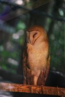 barn owl 1 by meihua-stock