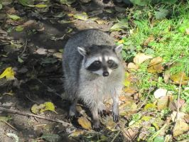 North American Raccoon by Cypselurus