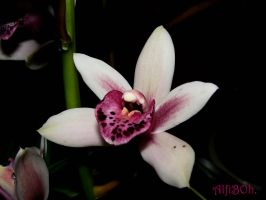 Orchid.. by AlfiBOh