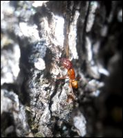 Ant by FuriarossaAndMimma