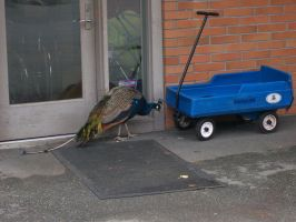 Peacock Versus Blue Wagon by cowgirlscholar