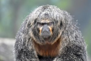 White Faced Saki Monkey.1. by HecklingHyena