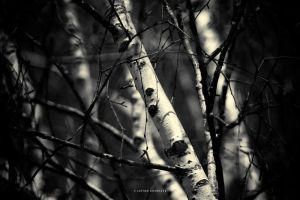 Birches by DREAMCA7CHER