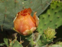 Prickely Pear Buds by Moon-Crafter