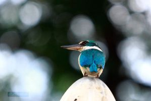 collared kingfisher 2 by PeacePhotoMan