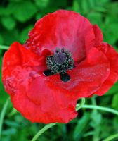 June Poppy by Forestina-Fotos