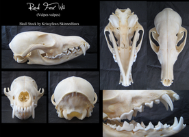 Skull Stock: Wild Red Fox by Krissyfawx