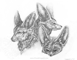 Fennec Fox Study by Crickatoo