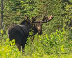 Morning Moose by Les-Piccolo