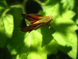 Yellow Skipper by DanikaMilles