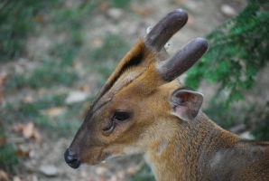 muntjac 1.3 by meihua-stock