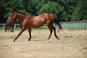 warmblood22 by Spotstock