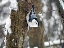 well fed nuthatch by Lou-in-Canada
