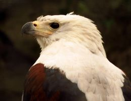 African Fish Eagle by slumbrous