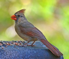 Female Cardinal 4-29-12 by Tailgun2009