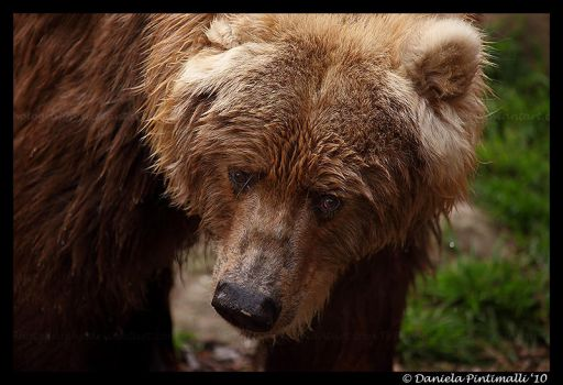 Kodiak Bear Portrait by TVD-Photography