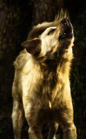 Dog howling by Tairenar