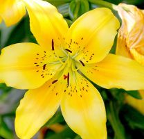 Yellow Flower by bloknayrb