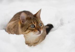 Snow spotted bengal cat by AngiWallace