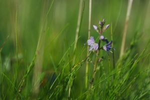 Veronica officinalis by perost