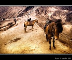 Horse in Bromo by Pandowo014