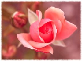 Grandma's rose by Vampirbiene