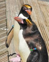 cool penguins 2 by hazellucy