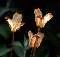 Seed Pods by Forestina-Fotos