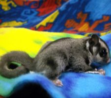 Cute Sugar Glider Joey by silhouettesNdreams