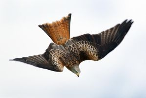 G force- Red Kite by Jamie-MacArthur
