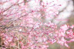 Blooming Blossom - Day 68 by rosannabell