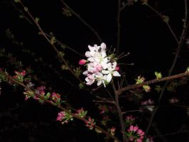 Cherry Blossom 2 by Cameron-Rutten