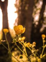 Buttercup Morning by NovaHeroi