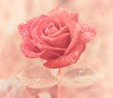 Dew-dropped Rose by valiunic
