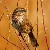 Sing Me a Song, Sparrow by charliesmyangel