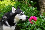 Husky Dog Loves Flowers - 2 by preciousvivien