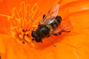 hoverfly by evelynzee
