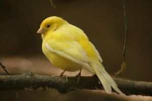 yellow canary bird - gelber Kanarienvogel by Nexu4