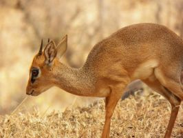 Dik-Dik by SplashKittyPhotos