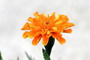 More Marigold by WickedOwl514