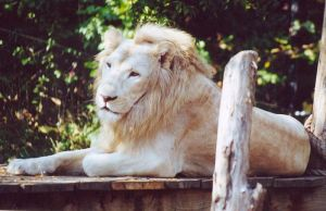 white lion by ronankeating