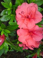 Rhododendron by BrittanyJustus