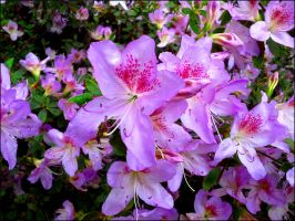 Rhododendron 11 by MadleneP
