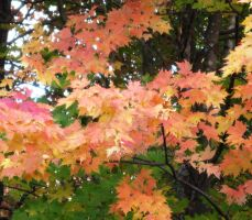 Maple leaves in Autumn by justamom