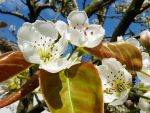 My Apple-Pear tree in bloom. by mdichow