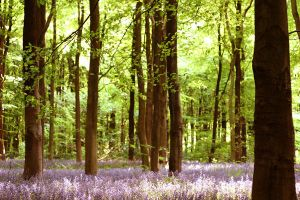 .bluebell woods. by emelia1502