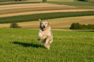 Golden Retriever in the jump 2 by archaeopteryx-stocks