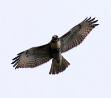 Redtail Hawk Stock 2 by Crystalsm